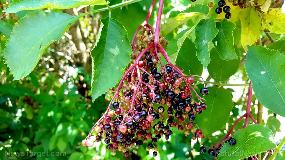 A natural cure for influenza: Study proves elderberries are an effective antiviral