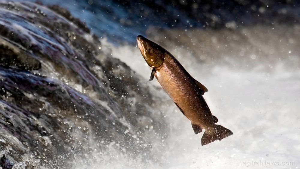 Raising farmed salmon means KILLING tons of wild fish to make fish food