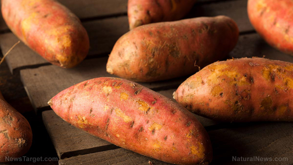 A bucketful of wellness: 9 tips on how to successfully grow sweet potatoes in buckets