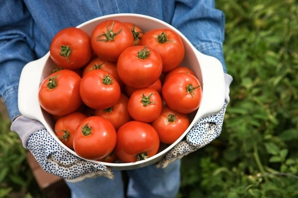 Gardening basics: How to prune tomatoes