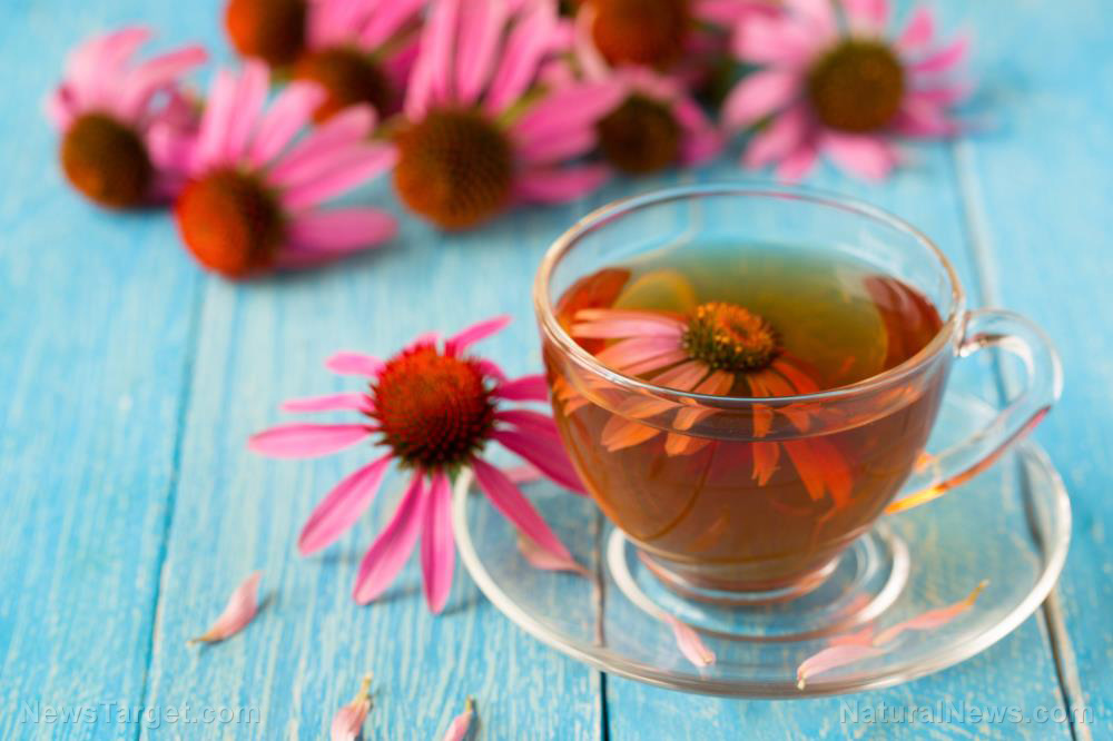 7 Ways echinacea can help you fight the common cold (plus echinacea tea recipe)